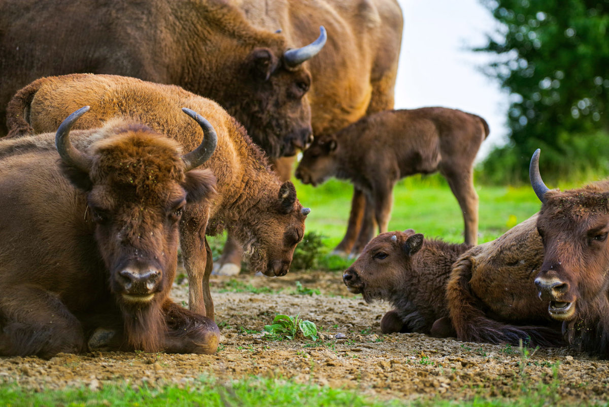 Six European bison were born in the reserve of large herbivores this year, the highest number since its foundation